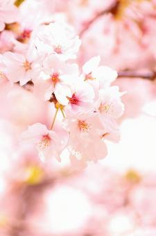 Yoshino cherry tree 60