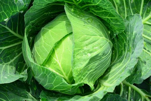 Vegetable field, cabbage 1