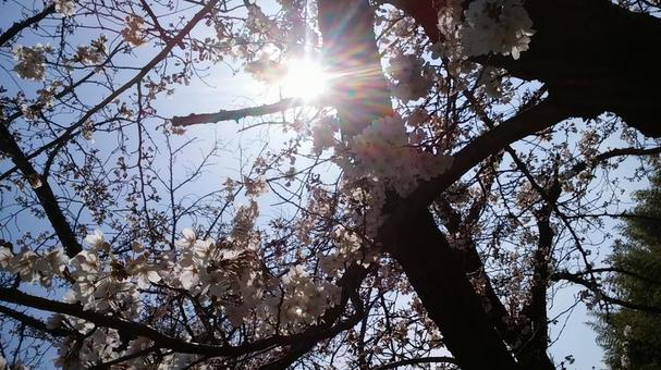 From under the cherry tree