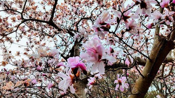 ピンク色のこぶしの花