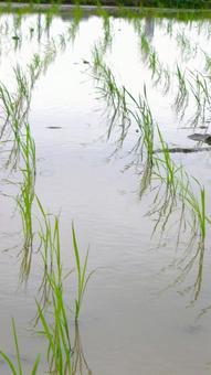 모내기 手植え 벼농사 자연 세로 이미지
