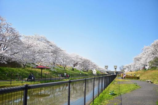 A row of cherry blossom trees on the embankment