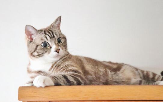 一隻可愛的虎斑貓躺著凝視