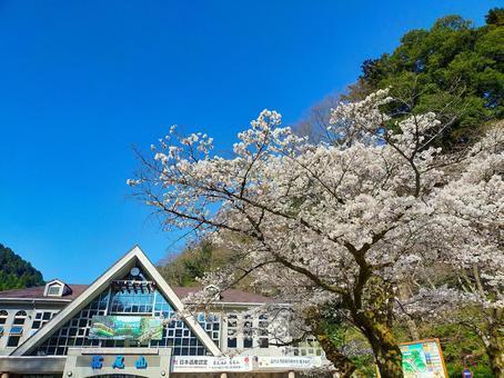 카오산 清滝 역 4 월의 풍경 만개 한 벚꽃 나무