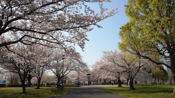 오시마 코마츠 카와 공원의 벚꽃