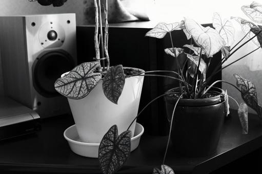 植物和揚聲器