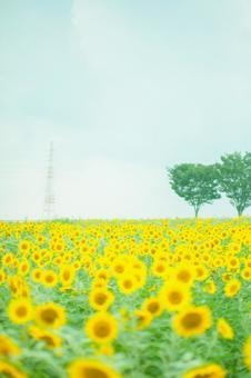 Sunflower field 36
