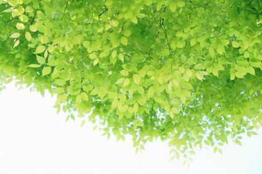 Zelkova leaves Fresh green young leaves Keyaki