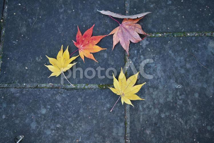 落ち葉 紅葉の写真