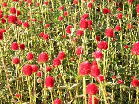 Red amaranth flower