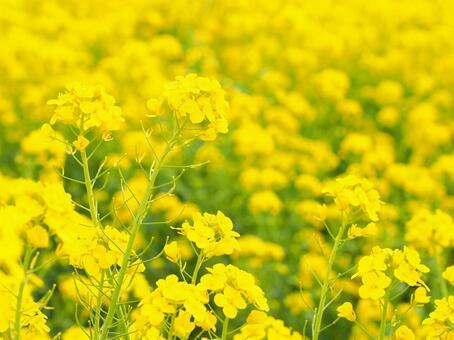 Rape blossoms field. 2