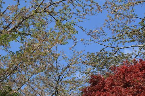 Yoshino cherry tree on the verge of cherry blossoms