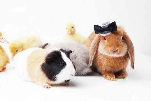 兔子和鸭子和豚鼠3