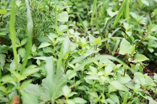 Healthy weeds in summer 07