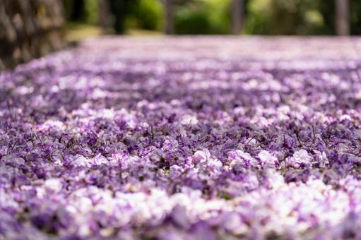 등나무 꽃의 융단