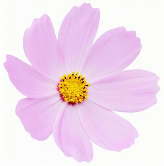 Light pink cosmos * See below for cutout path