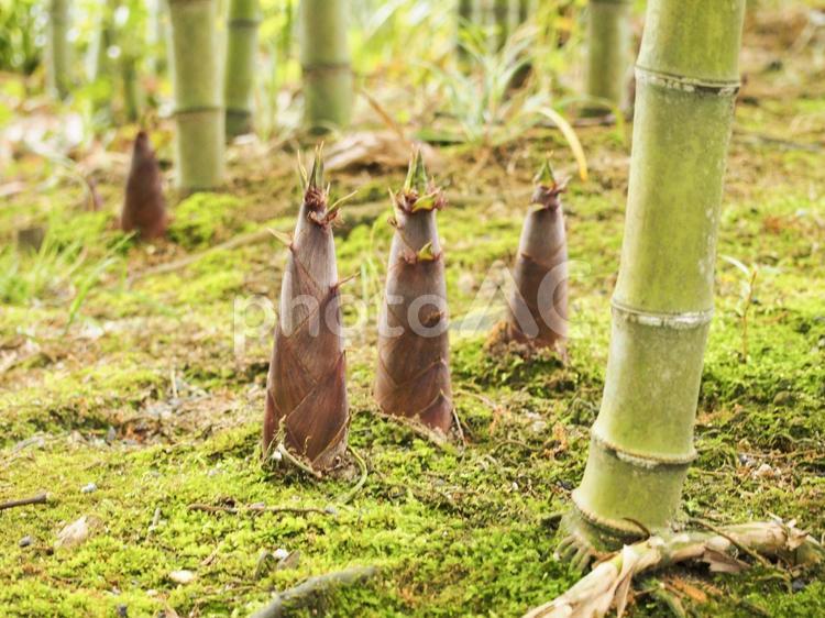 竹やぶに生える筍の写真