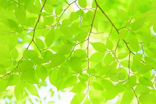 新鮮的綠葉若葉櫸樹