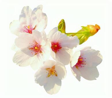 Cherry blossoms (white back)