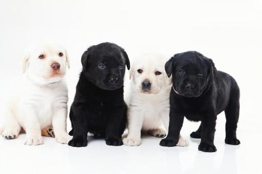 Puppies of Labrador retriever 6