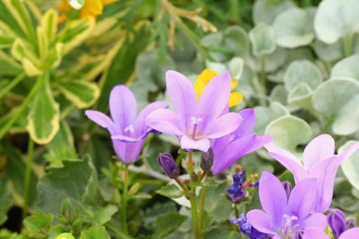 벨 플라워 화분 봄 카야 꽃 축제 원예 화단 보라색 꽃 4 월 5 월