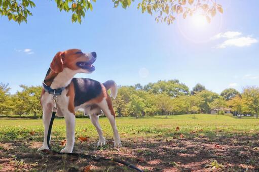 Beagle Feels good outside