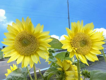 Light-colored sunflowers and blue sky