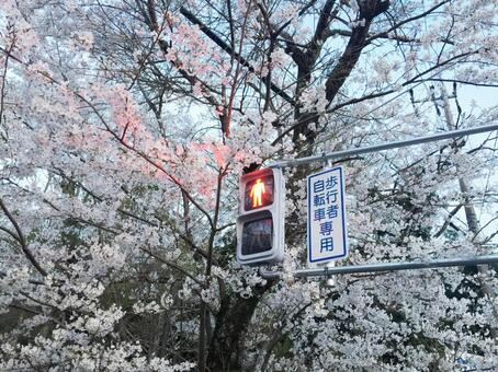 Cherry-blossom viewing stop!