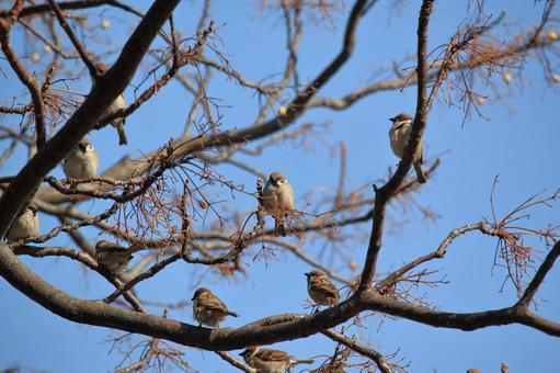 멀 구슬 나무 가지에 모이는 참새