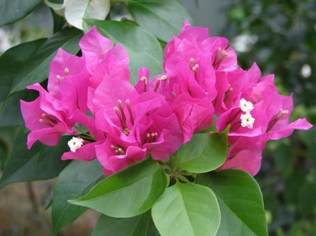 Pink Bougainvillea 10