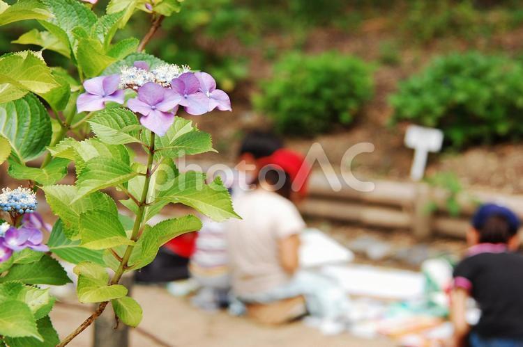 紫陽花と小学生のお絵かき教室 写生大会の写真
