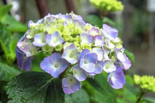 Hydrangea Hydrangea Hydrangea Rainy season Rainy season Purple petals Beautiful beautiful cute rainy season