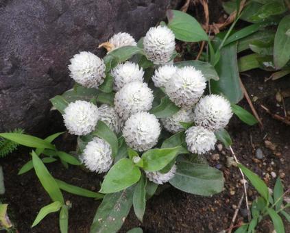 Globe amaranth white