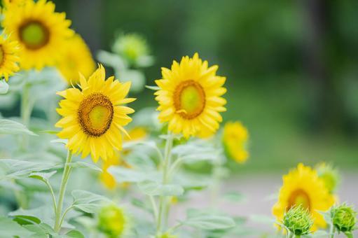 ひまわり 夏の花 向日葵