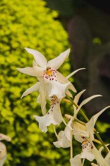 Oncidium Flower Picture Victoria British Columbia Canada