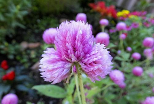 センニチコウ [Globe amaranth]-012