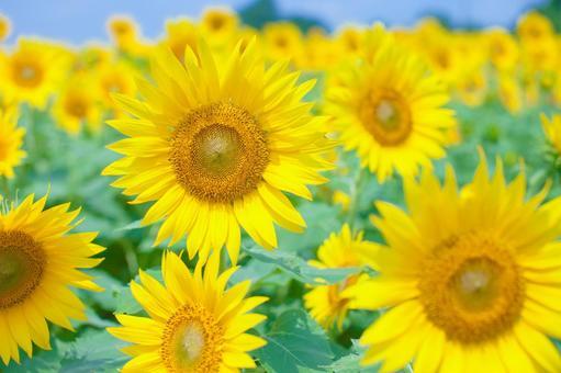 Sunflower field 73
