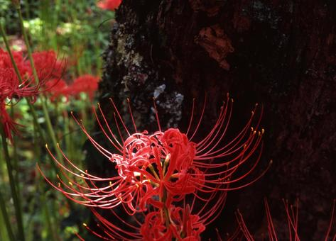 아름다운 피안 꽃
