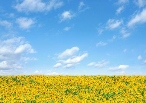 Blue sky and sunflower field Summer image 2