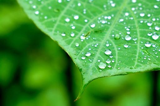 비가 갠 뒤의 잎과 물방울