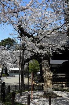 벚꽃의 표본 나무 (야스쿠니 신사)