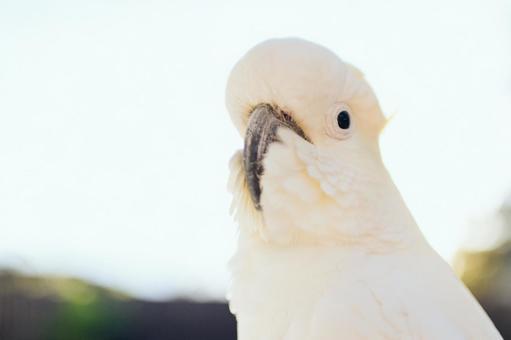 澳大利亞野生鳥Kivatan英文名Cockatoo背光是在日出光復古風格