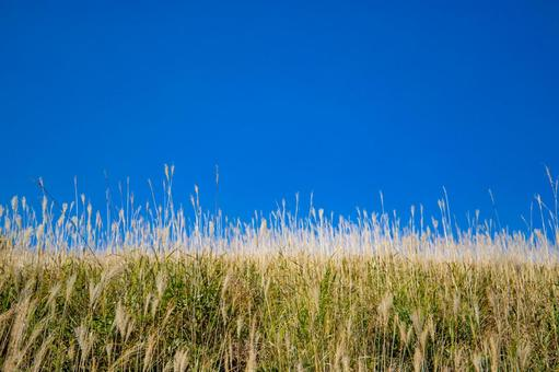 Miscanthus sinensis in the blue sky