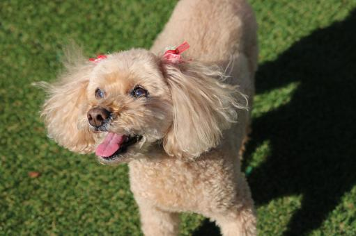 Toy poodle smile