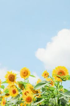 Sunflower full of blue sky