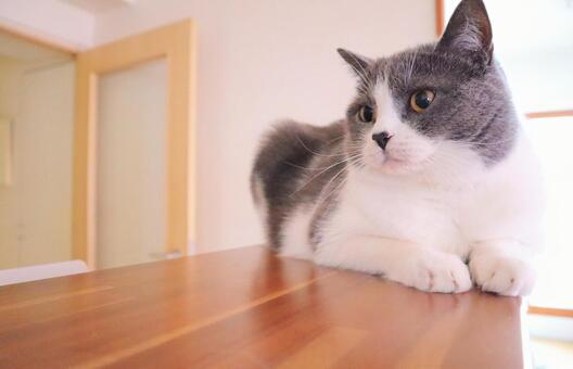 可愛的蜜蜂貓坐在廚房的櫃檯上
