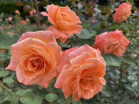 三文魚粉玫瑰