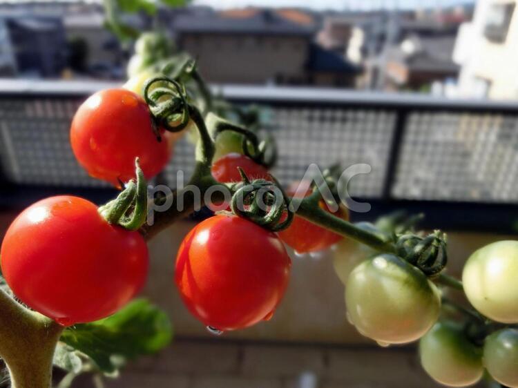 ミニトマト栽培2の写真
