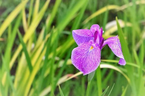 비에 젖 아름다운 꽃 창포