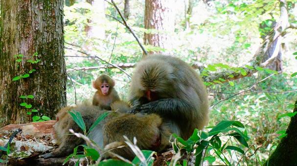 日本獼猴美容